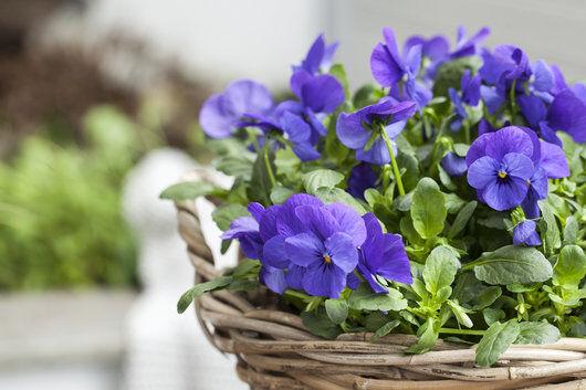 viola finnes i mange nydelige blå-lilla nyanser