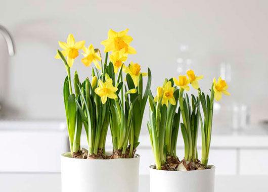 Narciss påskeliljer