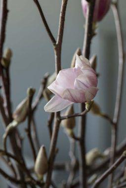 magnoliablomstene er eksotiske og delikate