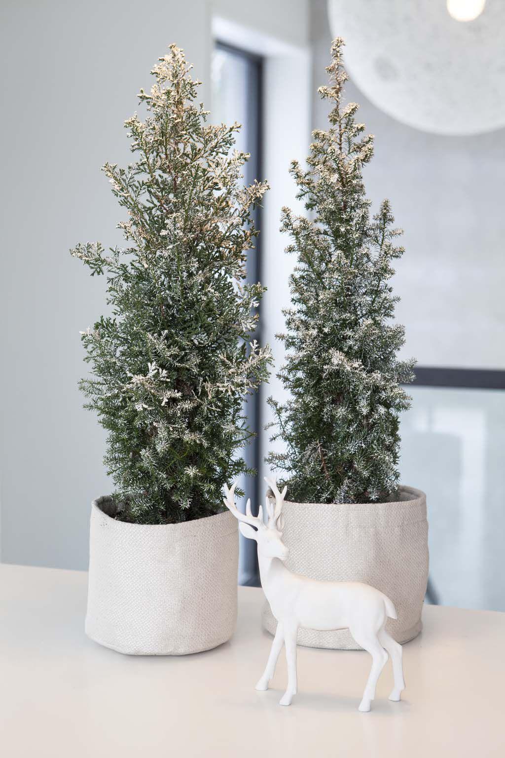 vintergrønne busker i grow-in