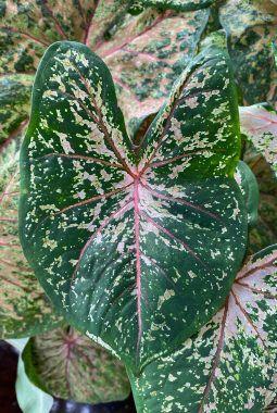 caladiumblad