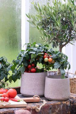 Tomater trives godt i krukker