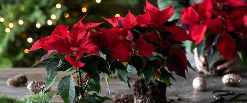 rød julestjerne i miljø_jul