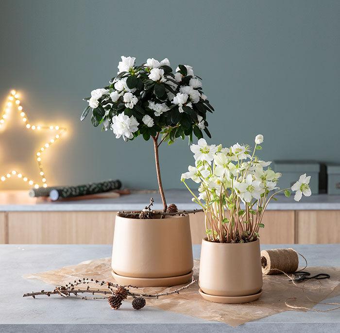 Helleborus Verboom Beauty har blitt trendy og populær