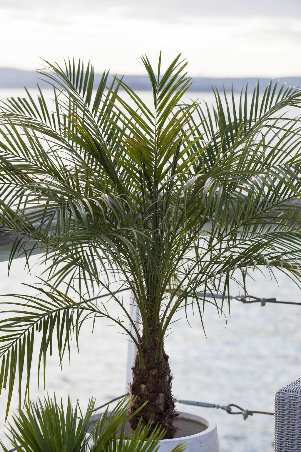 deilig palmesus på terrassen
