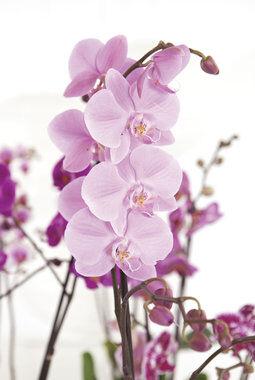 rosa phalaenopsis orkide