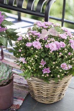 høst med frilandskrysantemum i rosa