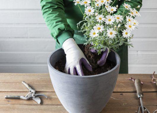 Plant margeritt i en potte