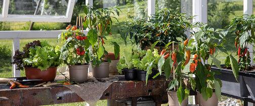 Så enkelt dyrker du tomater og chili