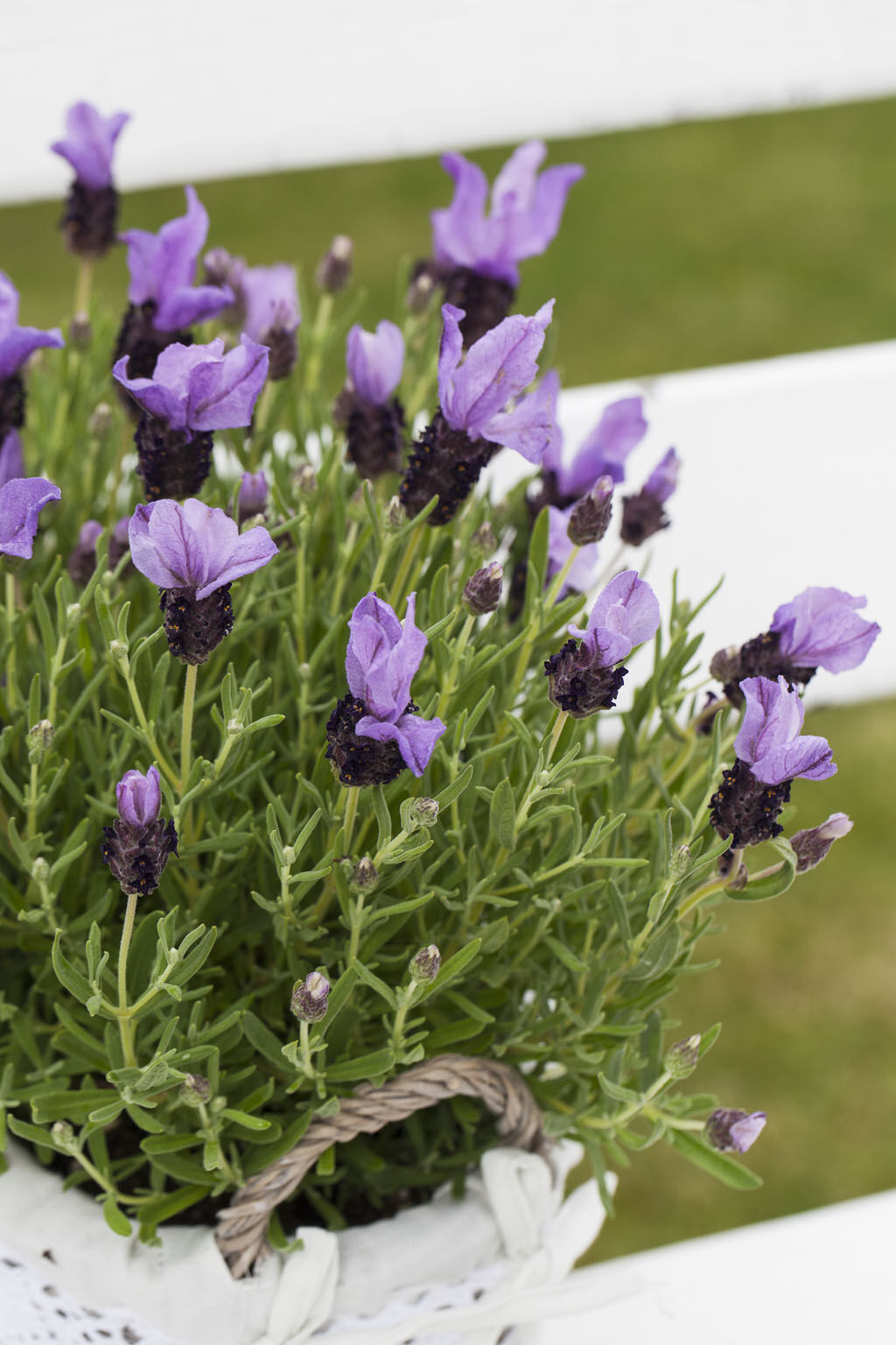 Lavendel 'Butterfly'