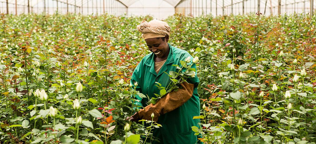 Fairtrade rosefarm