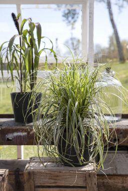 Carex i sort potte
