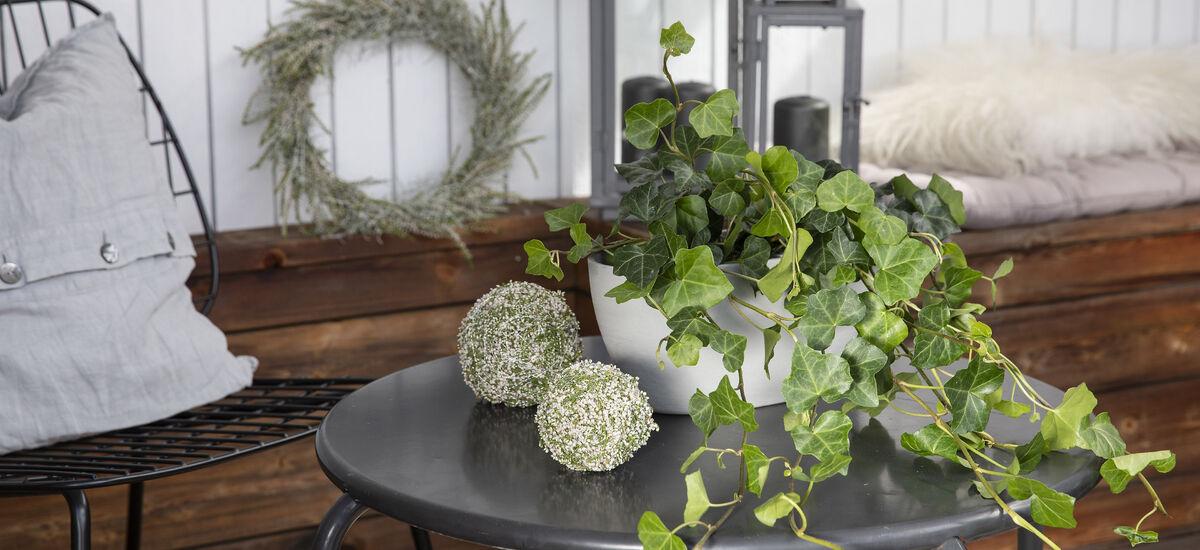 efoy er en populær og lettstelt plante