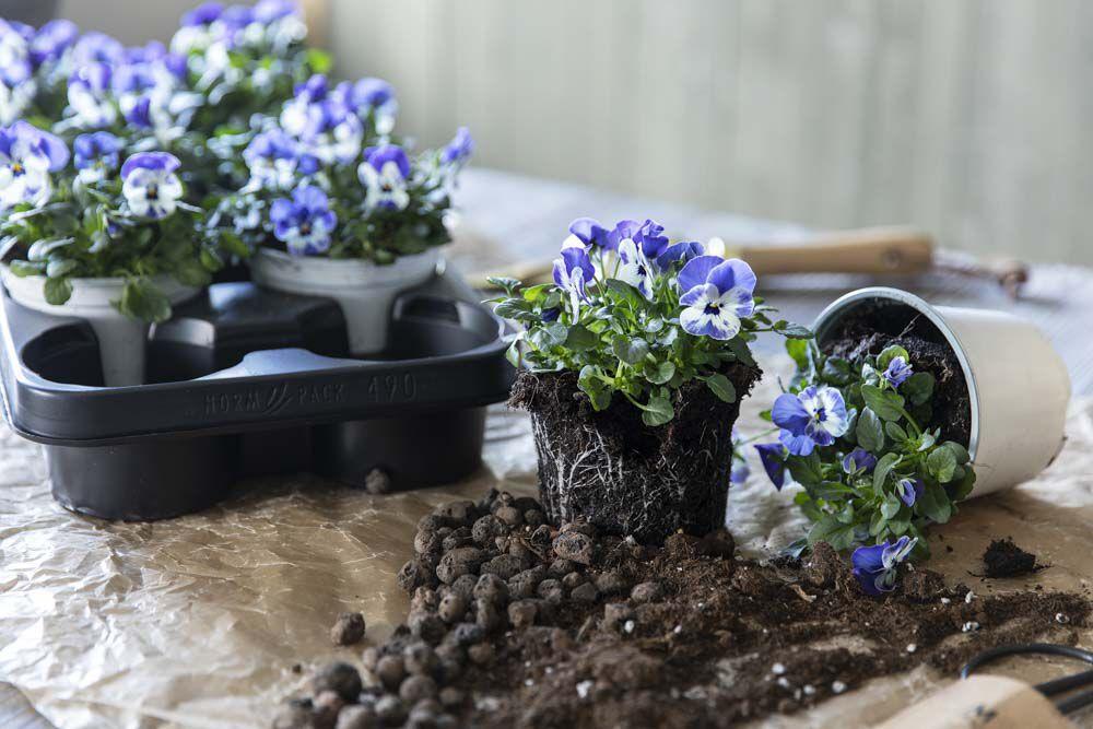 ta med barna og plant vakre vårblomster
