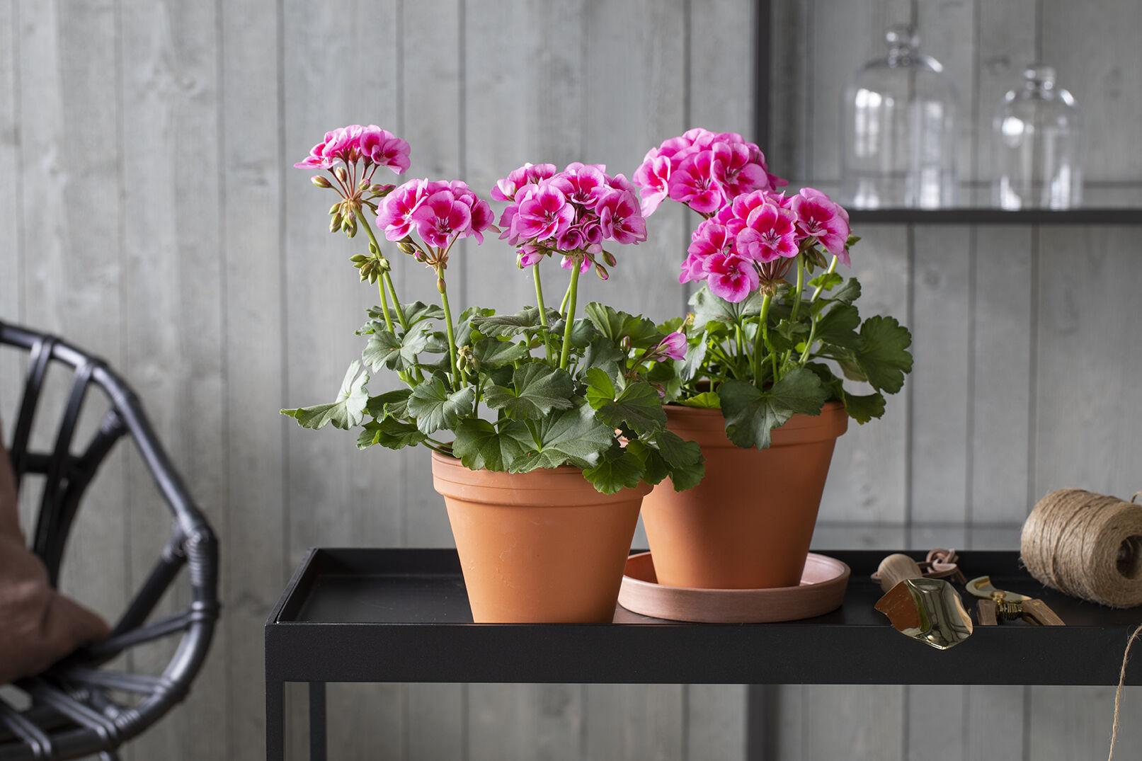 Rosa pelargonia i terrakottapotter