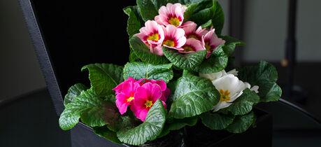 primula ulike farger