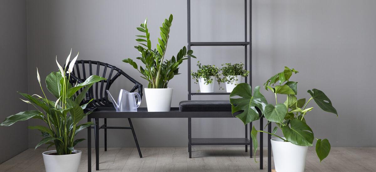 grønne planter i miljø_monstera og amioculcas