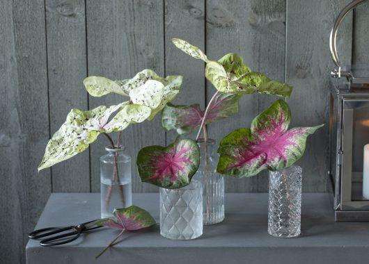 små vaser med caladium blader