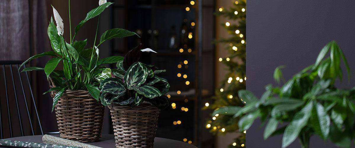 Fredslilje og calathea er fine julegaver