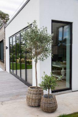 Oliventrær i rattankurv