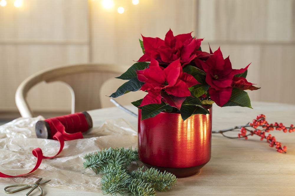 røde julestjerner til jul