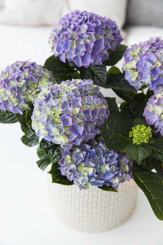 Fargerik og frisk hortensia
