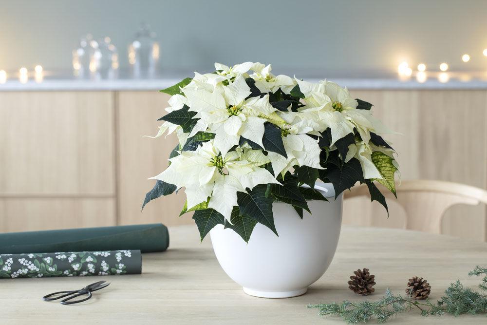 hvit julestjerne i miljø_jul