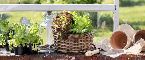 Dyrk selv salat, sukkererter og bladpersille