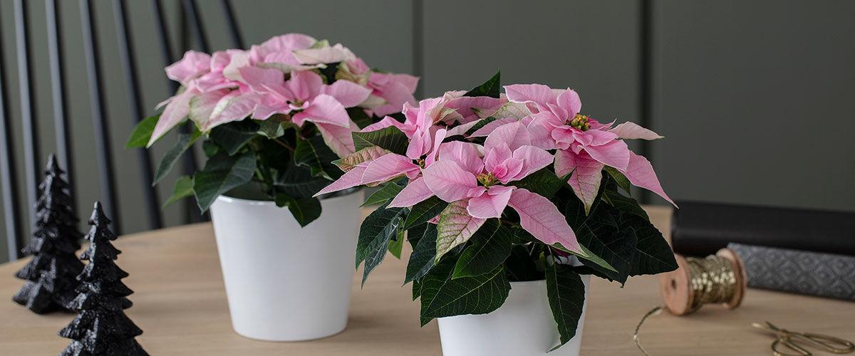 rosa Princettia julestjerne til jul