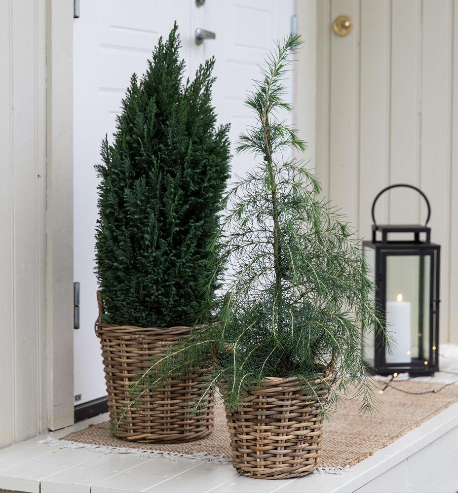 Vintergrønne busker