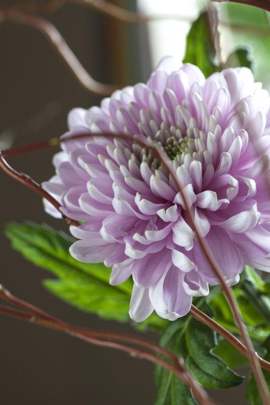 krysantemum finnes også som store fylte blomster