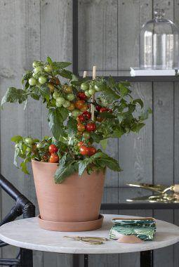 tomater i potte