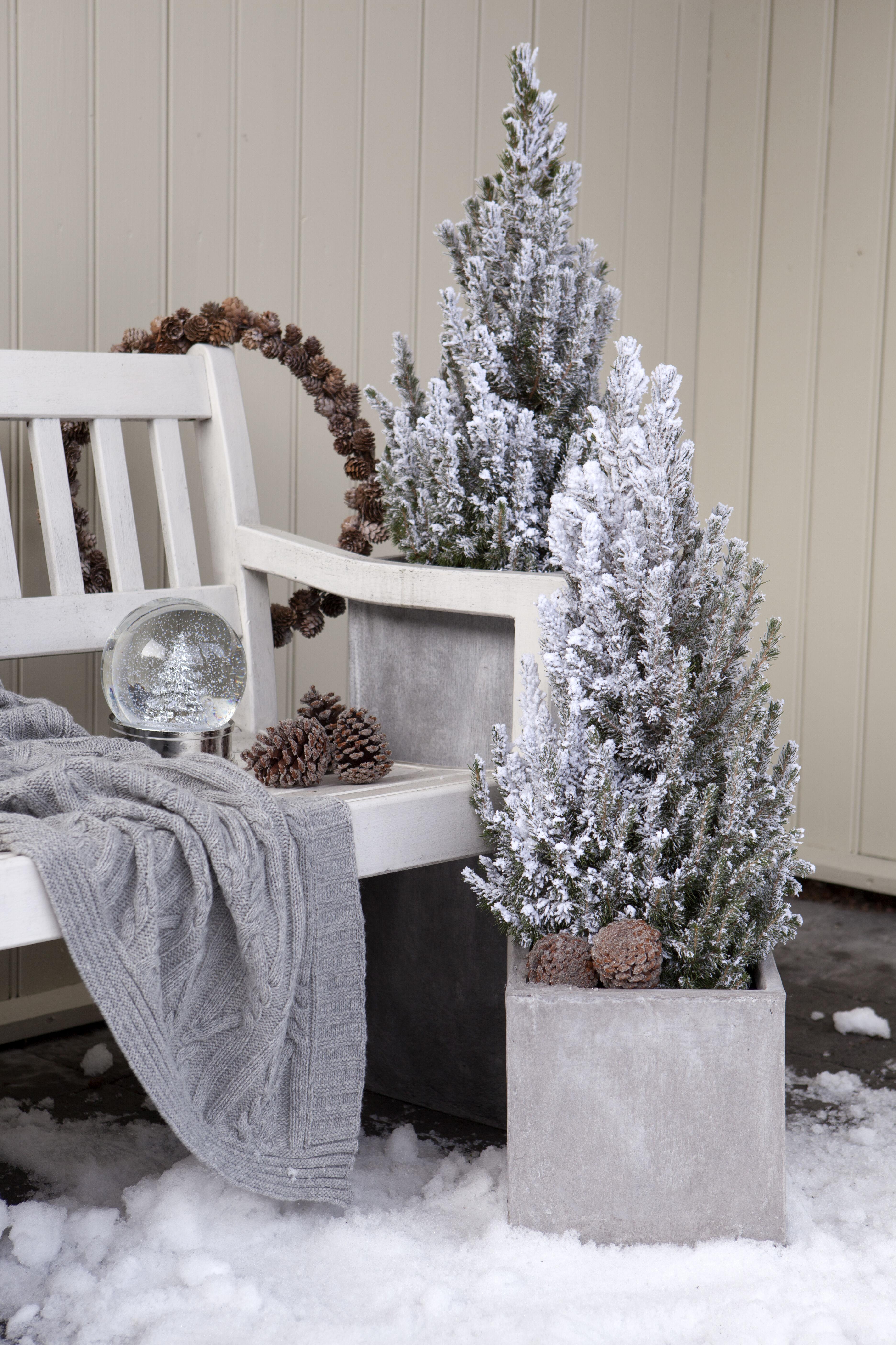 Frostet vintergrønn busk