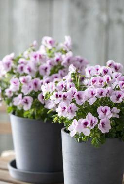 engelsk pelargonia