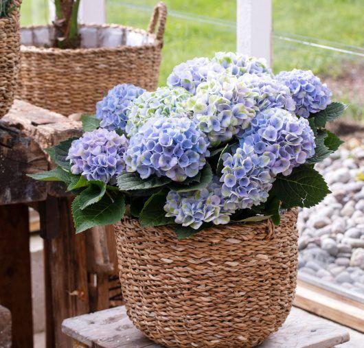 hortensia magical kommer også i en blå fargetone