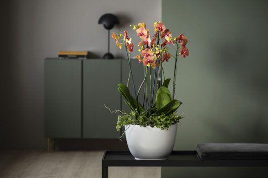 phalaenopsis orkide i gyldne farger i potte