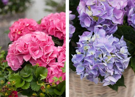 Rosa og blå hortensia