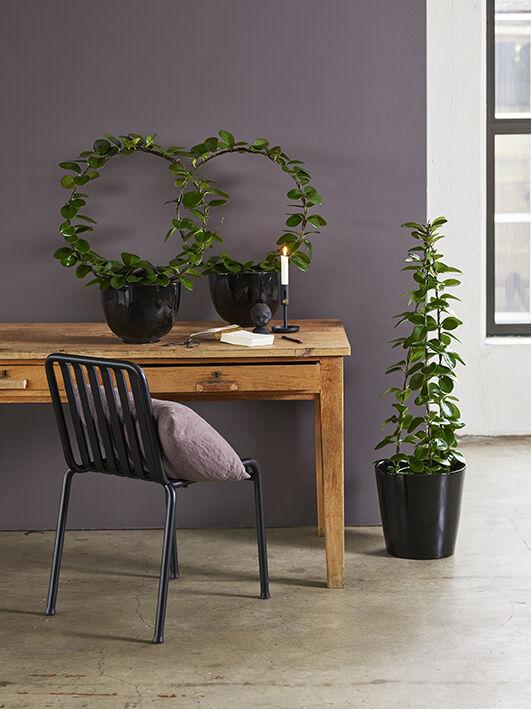 hoya voksblomst_grønne planter
