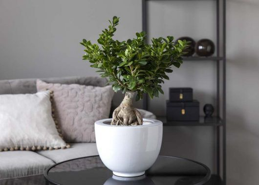 Ficus ginseng_grønne planter