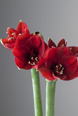 amaryllis ferrari