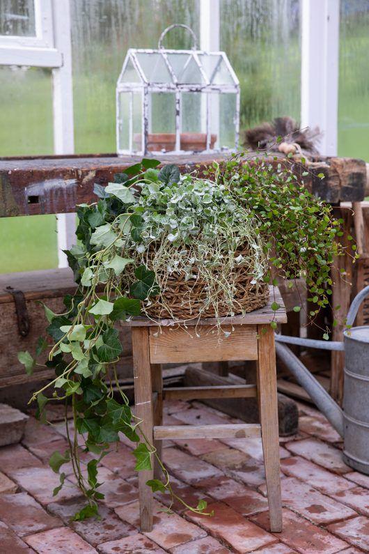 eføy og sommergrønne planter