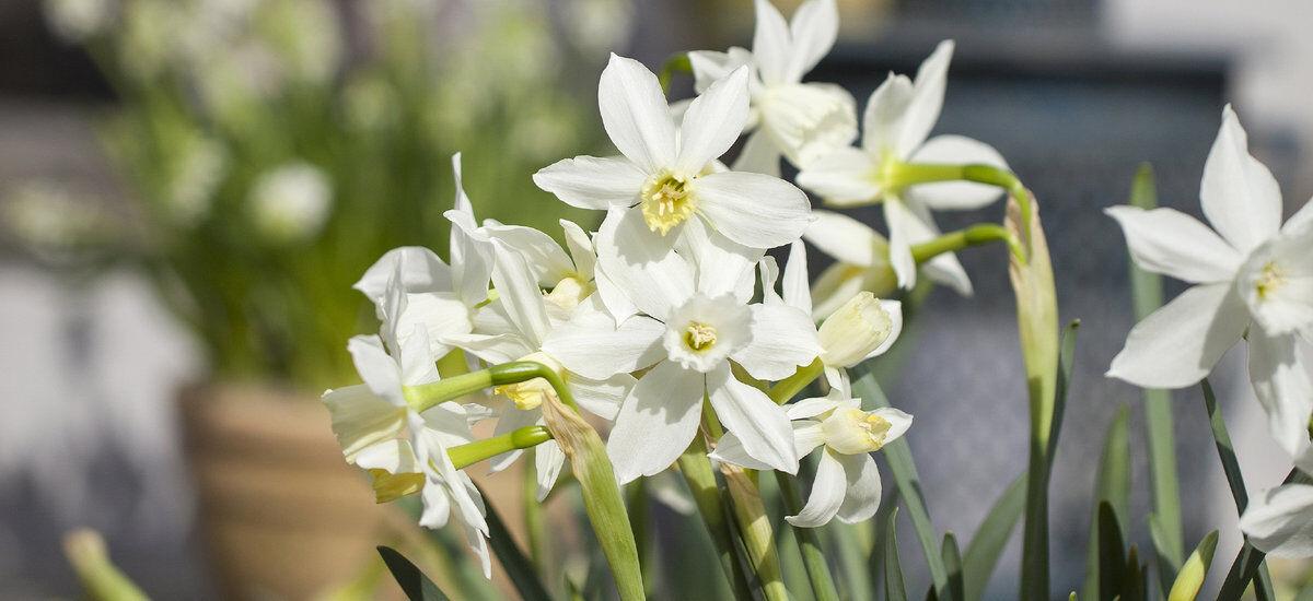 hvite pinseliljer eller narciss er vakre om våren