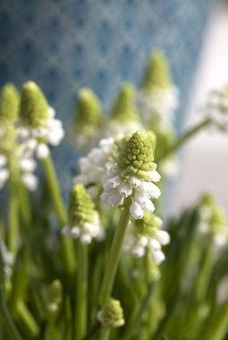 Perleblomst hvit