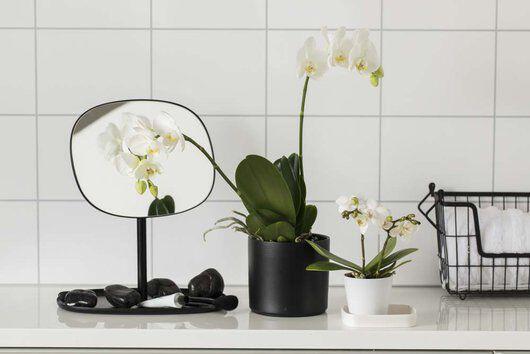 hvit phalaenopsis orkide i miljø