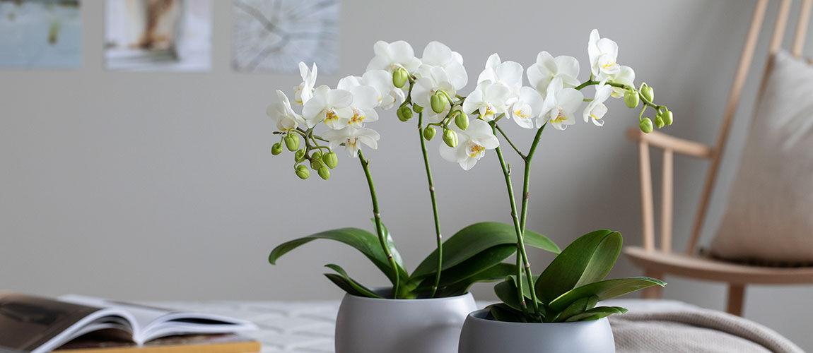 hvit phalaenopsis midi orkide