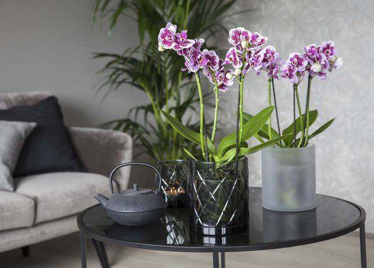 Phalaenopsis orkideer