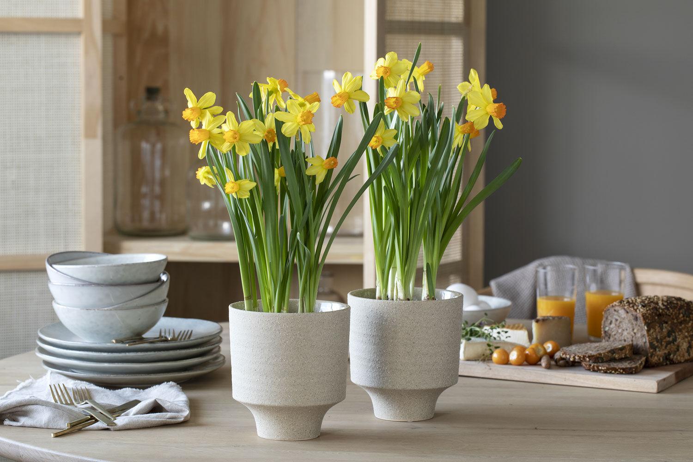 gule påskeliljer frisker opp til påske