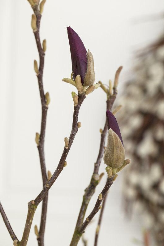 magnolia blomster er vakkert tidlig på våren