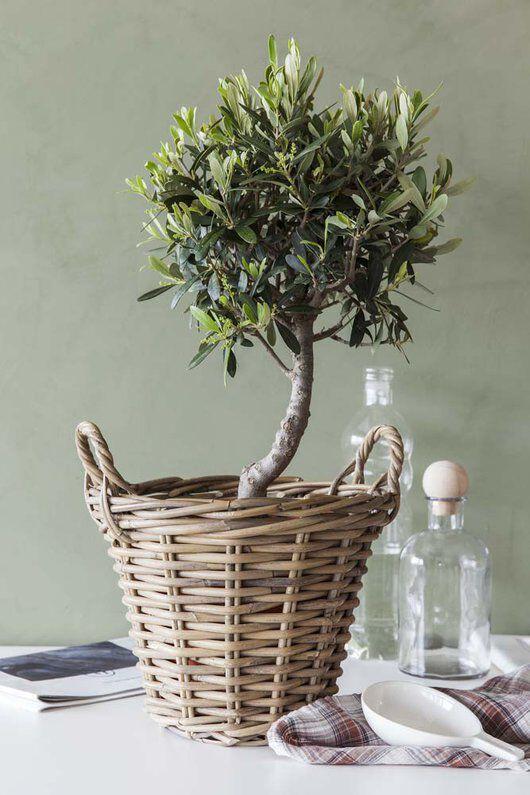 oliventre i kurv