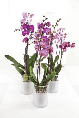 rosa phalaenopsis orkideer i potte